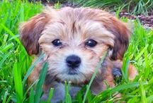 Happy Havanese / by The Daily Puppy