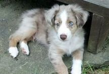 Amazing Australian Shepherds / by The Daily Puppy