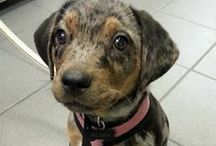Capable Catahoulas / by The Daily Puppy