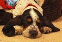 Bright Basset Hounds / by The Daily Puppy