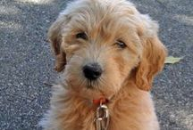 Glad Goldendoodles / by The Daily Puppy