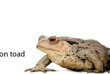 Ref Frogs, lizards, salamsndras