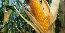 Corn / Giamarese Farm consists of about 35 acres at our main location. We also farm another 60-70 acres of local municipal land where we grow our own Sweet Corn and other crops.
