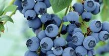 Blueberries / We do not grow our own Blueberries, however, we include Jersey Fresh Blueberries in CSA shares in between Strawberries and Peaches. We also sell Jersey Blueberries in the Farm Market.
