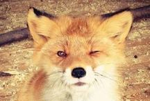 {fantastic mr. fox} / I loved Roal Dahl's book, I loved Wes Andersons' film and ever since I love foxes...