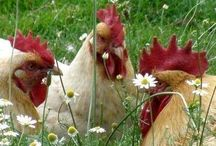 Chickens and Coops