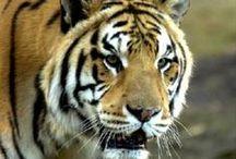 Louisiana State University / LSU Mike the Tiger