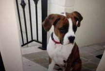 Gotta Love Boxers / In honor of Cooper....our very own boxer boy!  / by Cindy Godwin