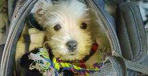 Westie Love! / All about West Highland White Terriers, the cutest little dog around! #westie #westhighlandwhiteterrier #dog