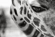 Giraffes / by Sarah Pippert