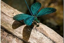 Dragonflies / by Glenda Niska