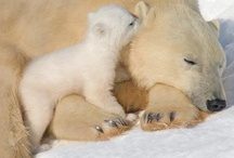 Animals & Pets: Polar Bears / These incredible, beautiful animals are in danger of becoming extinct. / by Lucia  Kaiser