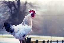 I love Chickens! / by Sara K Bostelmann