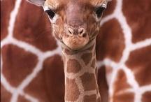 Giraffes, take a long look!
