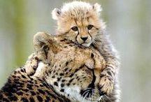 Animals & Pets: Cheetahs / by Lucia  Kaiser