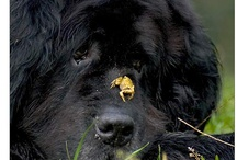 Everyone loves a newfie / Because there are far too few pictures of newfs on Pinterest!