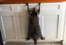 raccoons / jewellery, art, goods and raccoons