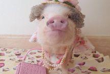 Pig's