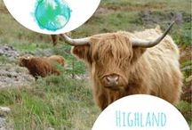Highland cows and their cuteness! / Just because they are so fluffy and so cute. Enjoy !