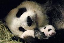 Panda Love ❤ / by Laura Morris