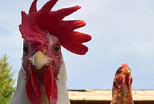 Bawk!  Chickens! / Everybody should have a chicken coop filled with lots of these cluckers!