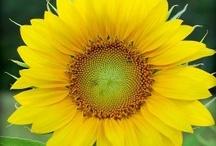 Sunshine on a stem / by Diane Cox