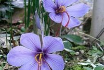 Plantes médicinales de chez nous / Des plantes  médicinales sont souvent des plantes aromatiques mais pas seulement. Elle sont indispensables à notre santé...
