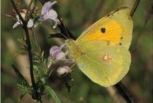 Papillons... / Des papillons de toutes les couleurs