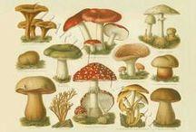 Mushroom Prints - Oh My, Fungi! / Quality restored vintage botanical and bird prints, fish prints and charts, note cards #MushroomDecor #BotanicalArt #VintagePrints    / by Charting Nature