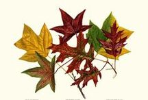 Fall Color / Quality restored vintage botanical and bird prints, fish prints and charts, note cards #FallLeaf #BotanicalArt #VintagePrints   / by Charting Nature