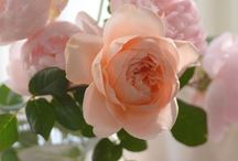R O S E ... / Who doesn't love roses ... / by ~Janet Copeland~
