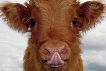 Cows / by Ingrid R