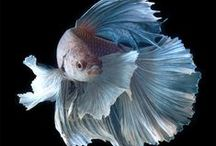 Beautiful Bettas / Fish fancy.