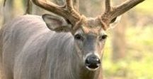 Hunting   Whitetail Deer / If there is one animal everyone thinks about when they hear the term hunting. It's the whitetail deer. The Whitetail deer has to be one of the most studied animals on the planet. Be sure to follow our board to learn deer habits, hunting tips and tricks, and more about this awesome animal.