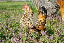 Mille Fleur Belgian d'Uccle / Bantam Chicken