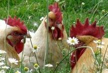 Chickens / by Teri Redford