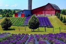 Lavender Fields Foreva! / by Doreen Cumberford