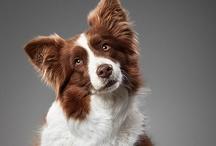 Dogs (Canis Lupus Familiaris)