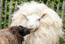 Sheep / by Doreen Cumberford