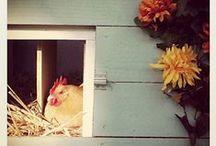 Chickens / Kippen - het houden van kippen