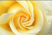 Favorite Roses !