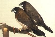 Volierevogels