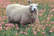 Sheep and Goats / by Carmela Romano