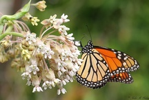 Butterfly Gardening / Plant list and design inspiration  / by andie jay