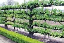 Espalier / Espalier plants.. use of small space