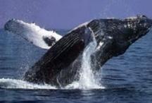 Whales in False Bay Cape Peninsula