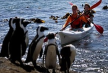 Sea kayaking - Cape Peninsula / Cape Point kayaking can be enjoyed around Cape Town's most beautiful bays and beaches including Hout Bay, Noordhoek, Kommetjie, Scarborough, Glencairn, Kalk Bay and Muizenberg. Beginners or advanced skill levels are welcome. You don't have to be a professional – the sea kayaks are stable and safe,  you will experience seals waving their flippers at you and the birdlife is astounding.