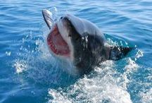 """Great White Shark Cage Diving ( Gansbaai) / Come face to face with a Great White Shark in the infamous """"Shark Alley"""", near the fishing village of Gansbaai, about 2 hours out of Cape Town. A personal eye-to-eye encounter with this awesome animal is guaranteed to get the adrenaline pumping, and will truly be one of the most breath-taking experiences you will ever live to remember."""