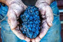 Harvest / Wineries along the Wine Road harvesting 2014 | Wine Road | Marketing | Events | Non-profit | www.wineroad.com | www.facebook.com/WineRoad | www.twitter.com/theWineRoad |