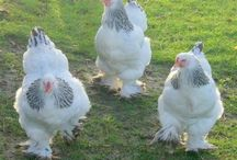 Chickens & farm animals / by Shanda Wilson